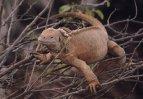 Galapágy – leguán