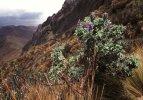 Vysokohorská květena v NP Cotopaxi